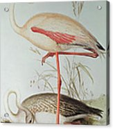 Flamingo Acrylic Print by Edward Lear