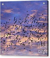 Flight Of The Blackbirds Acrylic Print by Darren Fisher