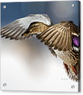 Flight Of The Mallard Acrylic Print by Bob Orsillo