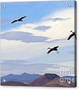 Flight Of The Sandhill Cranes Acrylic Print by Mike  Dawson