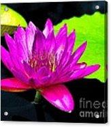 Floating Purple Water Lily Acrylic Print by Nick Zelinsky