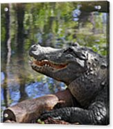 Florida - Where The Alligator Smiles Acrylic Print by Christine Till