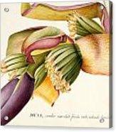 Flower Of The Banana Tree  Acrylic Print by Georg Dionysius Ehret