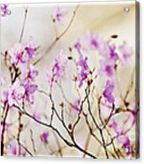 Flowering Rhododendron Acrylic Print by Elena Elisseeva