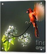 Flying Cardinal Landing On Branch Acrylic Print by Dan Friend