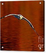 Flying Gull On Fall Color Acrylic Print by Robert Frederick