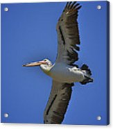 Flying Pelican 3 Acrylic Print by Heng Tan