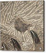 Fossil Shark Teeth Acrylic Print by Artist and Photographer Laura Wrede