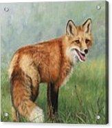 Fox  Acrylic Print by David Stribbling