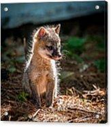 Fox Kit Acrylic Print by Paul Freidlund