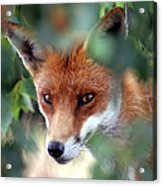 Fox Through Trees Acrylic Print by Tim Gainey
