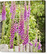 Foxglove Fence Acrylic Print by Anne Gilbert