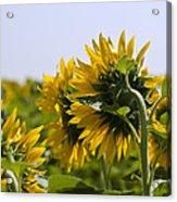 French Sunflowers Acrylic Print by Georgia Fowler