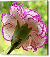 Frilly Carnation Acrylic Print by Gill Billington
