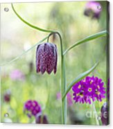Fritillary And Primula  Acrylic Print by Tim Gainey