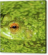Frog In Single Celled Algae Acrylic Print by Optical Playground By MP Ray