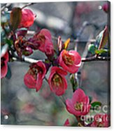 From Quince I Came Acrylic Print by Brenda Dorman