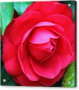 Fuchsia Camellia In Pastel Acrylic Print by Suzanne Gaff