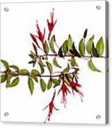 Fuchsia Stems On White Acrylic Print by Carol Leigh