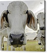 Funny Cows Acrylic Print by Cindy Bryant