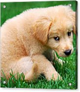 Fuzzy Golden Puppy Acrylic Print by Christina Rollo