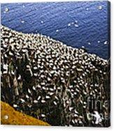 Gannets At Cape St. Mary's Ecological Bird Sanctuary Acrylic Print by Elena Elisseeva
