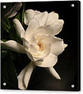 Gardenia Blossom Acrylic Print by Deborah Smith