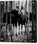 Gathering Of Moose Acrylic Print by Bob Orsillo