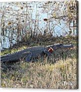 Gator Football Acrylic Print by Al Powell Photography USA