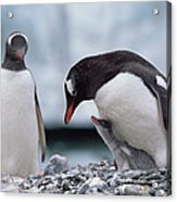 Gentoo Penguin With Chick Begging Acrylic Print by Konrad Wothe