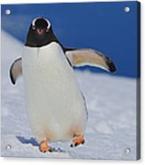 Gentoo Waddle Acrylic Print by Tony Beck