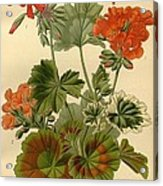 Geraniums Acrylic Print by Philip Ralley