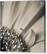 Gerbera Blossom - Bw Acrylic Print by Hannes Cmarits