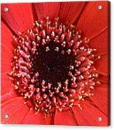 Gerbera Daisy Flower IIi Acrylic Print by Natalie Kinnear