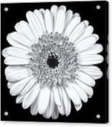 Gerbera Daisy Monochrome Acrylic Print by Adam Romanowicz