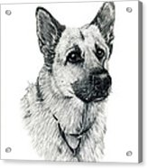 German Shepherd Acrylic Print by Terri Mills