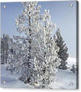 Ghost Trees Of Yellowstone Acrylic Print by Sandra Bronstein