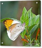 Giant Orange Tip Butterfly Acrylic Print by Jane Rix