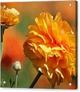Giant Tecolote Ranunculus - Carlsbad Flower Fields Ca Acrylic Print by Christine Till