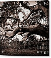 Gnarly Limbs At The Ashley River In Charleston Acrylic Print by Susanne Van Hulst