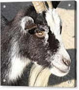 Goat 7d27405 Acrylic Print by Wingsdomain Art and Photography