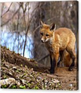 Going To The Den  Acrylic Print by Thomas Young