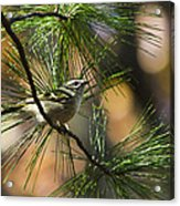Golden-crowned Kinglet Acrylic Print by Christina Rollo