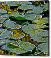 Golden Lilly Pads Acrylic Print by Frozen in Time Fine Art Photography