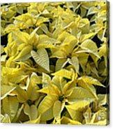 Golden Poinsettias Acrylic Print by Catherine Sherman