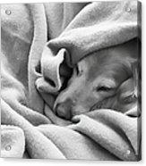 Golden Retriever Dog Under The Blanket Acrylic Print by Jennie Marie Schell