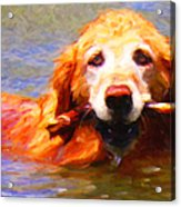 Golden Retriever - Painterly Acrylic Print by Wingsdomain Art and Photography