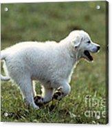 Golden Retriever Puppy Acrylic Print by Jean-Michel Labat