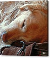 Golden Retriever Sleeping With Dad's Slippers Acrylic Print by Jennie Marie Schell