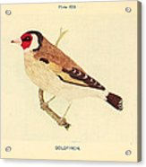 Goldfinch Acrylic Print by Philip Ralley
